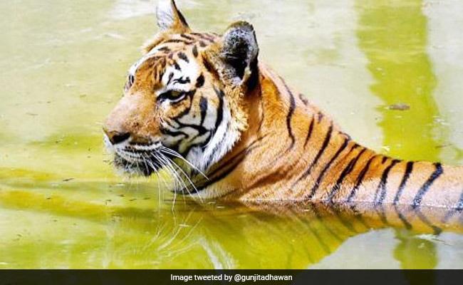 NTCA ने राज्यों को दिए निर्देश: बाघों पर नजर रखें और Covid-19 के लक्षण दिखते ही सूचित करें