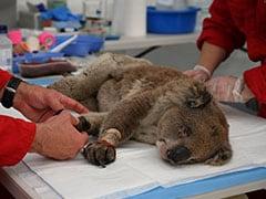 Australian Island Had 46,000 Koalas. After Bushfire, Only 9,000 Remain