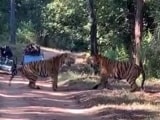 Video : Watch: Two Male Tigers Clash Over Territory In Madhya Pradesh