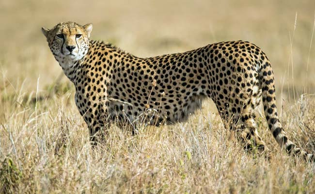 African Cheetah To Be Brought In, Supreme Court Clears Project