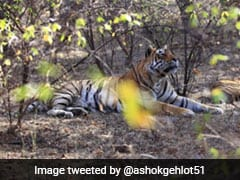 "Male Tiger ""Dollar"", That Raised 2 Orphan Cubs, Dies In Rajasthan"