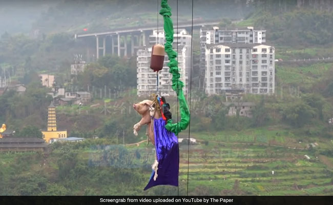 Chinese Theme Park Faces Backlash For Forcing Pig To Bungee Jump