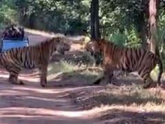कान्हा नेशनल पार्क के सरही जोन में दो बाघों के बीच हुई वर्चस्व की लड़ाई, Video हुआ वायरल
