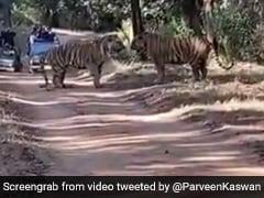 Viral Video: जंगल में दो बाघों के बीच हुई घातक जंग, देखिए किसकी हुई जीत...