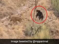 शिकार के लिए बाघ ने लगाई दौड़ तो खड़ा हो गया भालू फिर हुआ कुछ ऐसा... देखें लड़ाई का पूरा Video