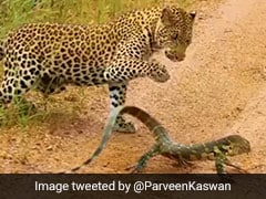 Watch Who Comes Out On Top In This Leopard Vs Monitor Lizard Fight