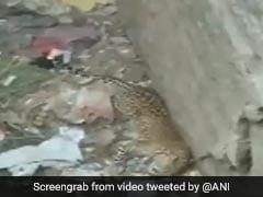 कुत्ते के बच्चे का शिकार करने की कोशिश में था तेंदुआ, तभी कुएं में जा गिरे दोनों और फिर... देखें Video