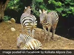 "Born On February 14, Kolkata Zoo Names Zebra ""Valentina"""