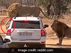 जंगल में कार के ऊपर चढ़ गया शेर, दरवाजा खोलने के लिए किया ऐसा... देखें पूरा Video