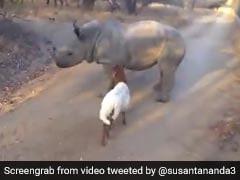 गेंडे को देख उछलने लगी बकरी, फिर बड़े से जानवर ने किया ऐसा... देखें Viral Video