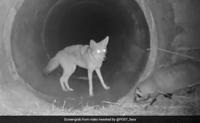 Why This Viral Video Of A Badger And Coyote 'Friendship' Has Scientists Excited