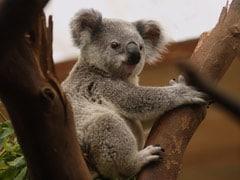 Dozens Of Koalas In Australia Killed After Loggers Bulldoze Plantation