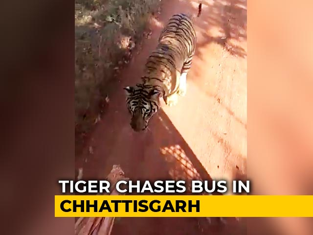 Video : Watch Hair-Raising Video Of Tiger Chasing Tourist Bus In Chhattisgarh