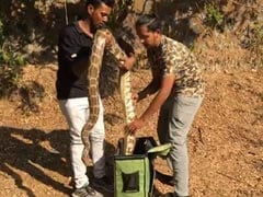 Watch: Snake-Catchers Put Big Pythons Into Bag, Zip Them In Mumbai