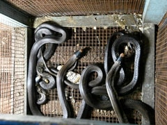 Indonesia Sells Bats, Snakes Despite Government's Coronavirus Warning
