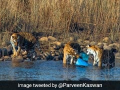 Pic Of Corbett Tigers Playing With Plastic Sparks Concern