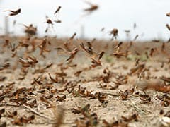Swarms Of Locusts Attack Trees, Crops In Several UP Districts