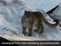 Rare Snow Leopard Sighting In Himachal Fascinates Twitter. Watch