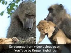शेर के बच्चे को उठाकर लंगूर चढ़ गया पेड़ पर, हवा में उड़ा और फिर हुआ ऐसा... देखें Video