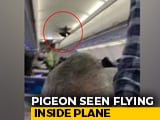 Video : Watch: Pigeon Flies Inside GoAir Plane, Passengers Try To Catch It