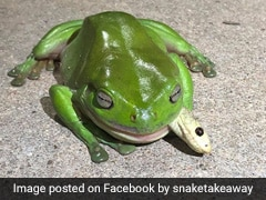 Tree Frog Eats One Of The World's Most Venomous Snakes, Survives