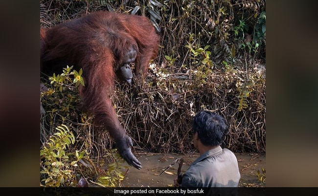 Incredible Moment An Orangutan Extends A Helping Hand To Man In River