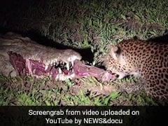 सोते हुए मगरमच्छ के मुंह से मीट चुराने लगा तेंदुआ और फिर... देखें Viral Video