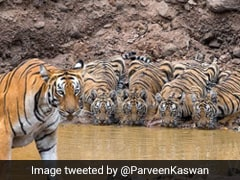 Tigress Keeps Watch As Cubs Drink Water. Majestic, Says The Internet