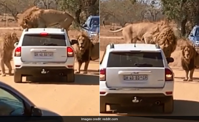 Lions Surround Tourist Vehicle, Climb On Top Of It In Scary Viral Video