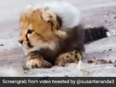 Video Of Cheetah Cub Learning To Hunt Has Netizens Amazed