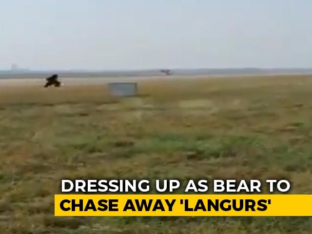 Video : Gujarat Airport Official Chases Away Monkeys, Dressed As A Bear
