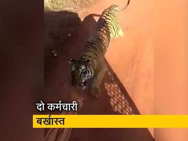 Videos : छत्तीसगढ़ के जंगल सफारी में पर्यटकों की बस के पीछे भागा बाघ