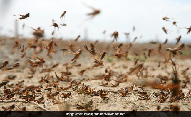 High Alert In Some Himachal Districts Against Probable Locust Attack