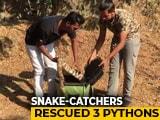 Video : Watch: Snake-Catchers Put Big Python Into Bag, Zip Them In Mumbai