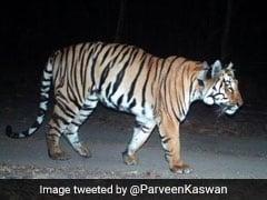 भारत में 'गर्लफ्रेंड' की तलाश में 2 हजार किलोमीटर पैदल चला बाघ, लोग बोले- 'Tinder पर ढूंढो...'
