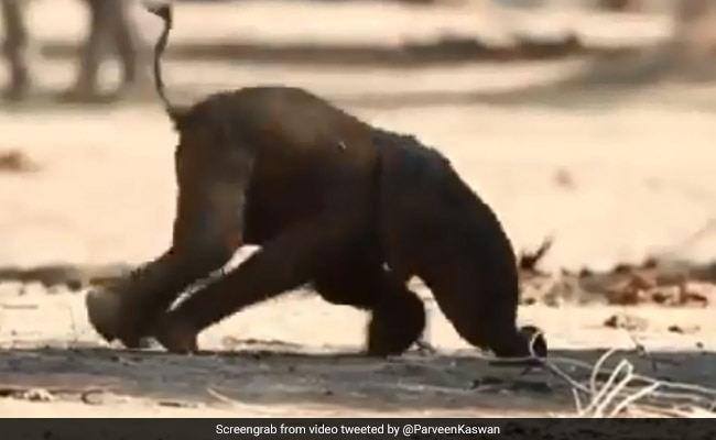 Video Of Baby Elephant Trying To Take First Steps Wins Social Media