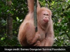 World's Only Known Albino Orangutan Spotted In Borneo Rainforest