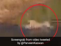 शेरनी ने ऐसे पार कराई अपने बच्चों को नदी, डूबने लगा बच्चा तो किया कुछ ऐसा... देखें पूरा Video