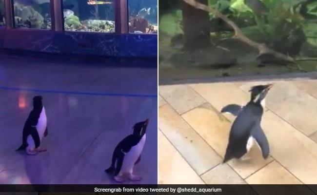 Viral Video: Penguins Tour Aquarium Closed Due To Coronavirus