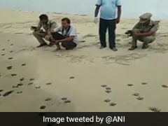 Forest Officials In Rameswaram Release Over 200 Baby Turtles Into Sea