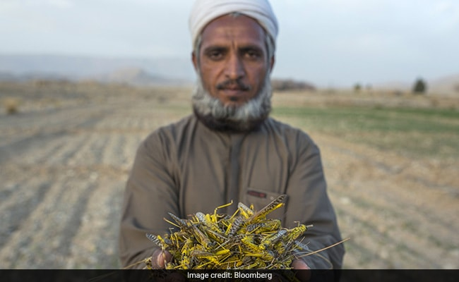 'Our Children Will Starve,' Say Pakistan Farmers As Locusts Breed