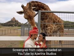 Watch: Giraffe Tries To Steal Groom's Turban During Wedding Photoshoot