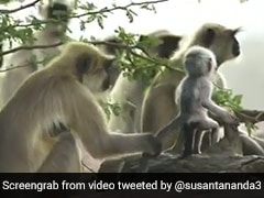पेड़ पर नकली बंदर को देख लंगूरों ने किया कुछ ऐसा, फिर उसकी 'मौत' का मनाने लगे शोक... देखें Viral Video