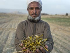 """""""Our Children Will Starve,"""" Say Pakistan Farmers As Locusts Breed"""