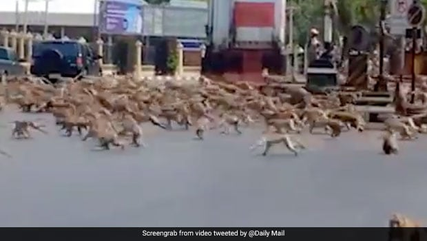 Watch: Monkeys In Thailand Fight Over Food In Viral Twitter Video