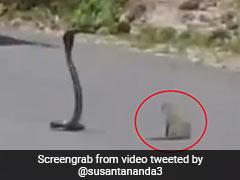 बीच सड़क पर हुई नेवले और कोबरा के बीच जंग, Video में देखें आखिर में किसकी हुई जीत...