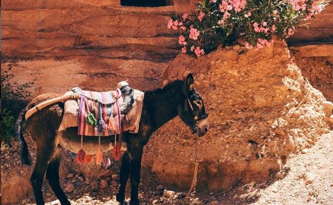 'Newest Son-In-Law' Rides Donkey On Holi In Maharashtra Village