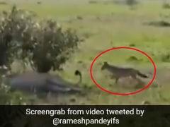 जंगल में जानवर ने मस्ती-मस्ती में खींची शेर की पूंछ तो गुस्से में खड़े होकर किया ऐसा... देखें Viral Video
