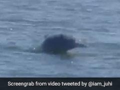 Video Of Dolphins Off Mumbai Coast Is Viral Amid Coronavirus Lockdown