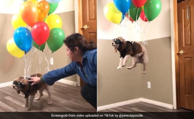 TikTok Viral Video: महिला ने ऐसे उड़ाया कुत्ते को हवा में, 2 करोड़ से ज्यादा बार देखा गया वीडियो...